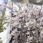彩りの郷🌸《さくらだより》④ 2020年4月6日